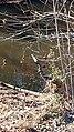 Blue Heron Ayr Mount Hillsborough NC 123325 (31630256190).jpg