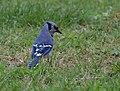 Blue Jay (34173397381).jpg