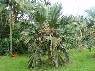 <i>Latania loddigesii</i> Species of palm