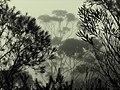 Blue Mountains Nebel - panoramio.jpg