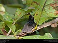 Blue Mud wasp (Sphecidae, Chalybion californicum) (31102442545).jpg