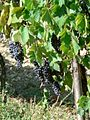 Blue grapes in vineyard.jpg