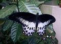 Blue mormon(Papilio polymnestor) on Tabernaemontana divaricata at Bakkannapalem 02.jpg