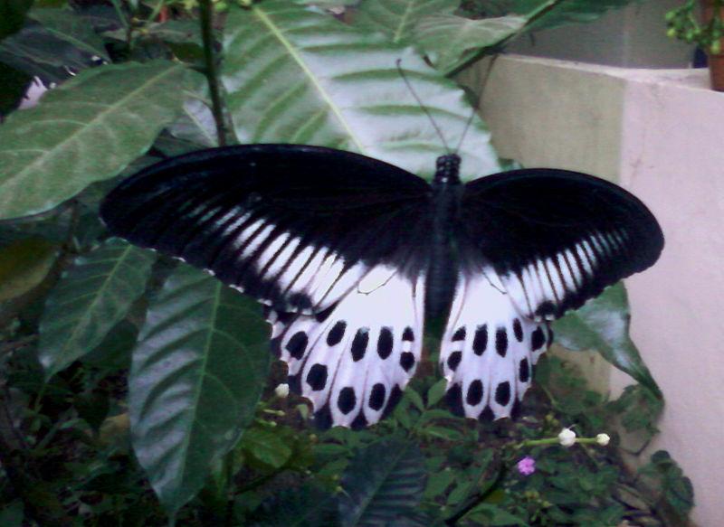 File:Blue mormon(Papilio polymnestor) on Tabernaemontana divaricata at Bakkannapalem 02.jpg