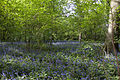 Bluebell Wood (5676428685).jpg