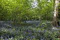 Bluebell Wood (5676428685).jpg