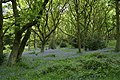 Bluebells, Old Spring Wood - geograph.org.uk - 440203.jpg