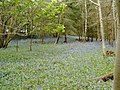 Bluebells near Woodcroft Farm - geograph.org.uk - 422658.jpg