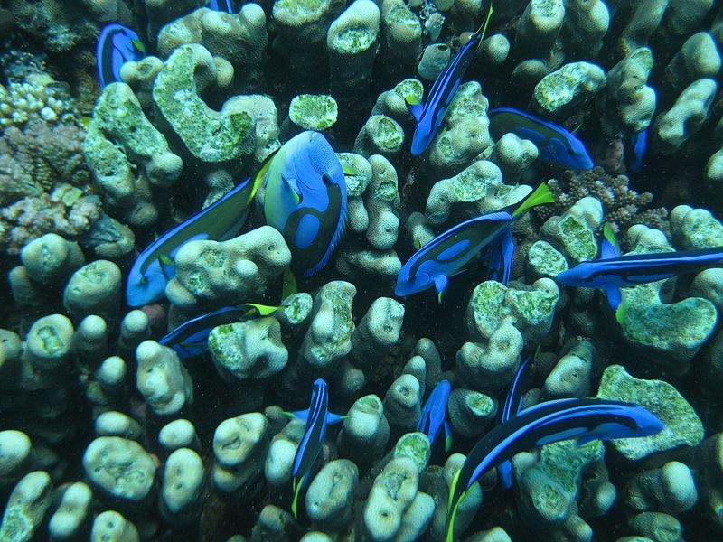File:Bluefish2.JPG