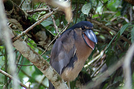 Boat-billed heron.jpg