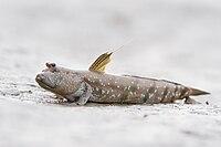 Boleophthalmus boddarti - Laem Phak Bia.jpg