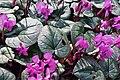 Bonn 2020 - Cyclamen coum im Botanischen Garten.jpg