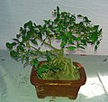 Bonsai of Thai Cherry 01.jpg