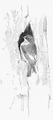 Bonte vliegenvanger Ficedula hypoleuca Jos Zwarts 4.tif