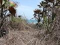 Borassus aethiopum 0084.jpg