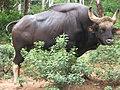 Bos gaurus in a zoo (in India).jpg