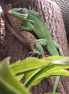 Boston-Knight-Anole.jpg