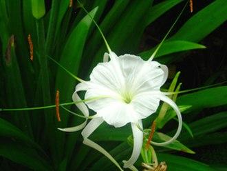 Hymenocallis acutifolia - Image: Botanico Set Dominguez