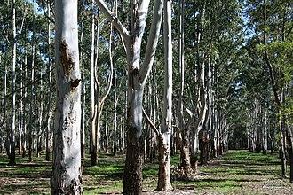 Box Hill, New South Wales - Box Wood plantation in Box Hill