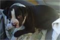 Boxer puppy.png