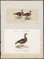 Branta ruficollis - - Print - Iconographia Zoologica - Special Collections University of Amsterdam - UBA01 IZ17600187.tif