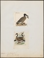 Branta spec. - 1700-1880 - Print - Iconographia Zoologica - Special Collections University of Amsterdam - UBA01 IZ17600177.tif