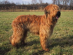 Image of Briard Dogs