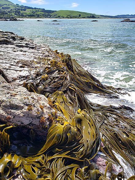 Many species of southern bull kelp are found in New Zealand. BrightonDurvillaea2.jpg