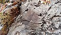 Brioverian Turbiditic Siltite in Campénéac in Morbihan in France.jpg