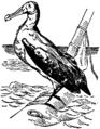 Britannica 1911 Albatross.png