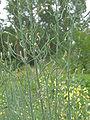 Broccoli siliques, hauwen (3).jpg