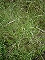 Bromus arvensis inflorescence (04).jpg