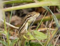 Brown Basilisk (Basiliscus vittatus) - Flickr - gailhampshire (1).jpg