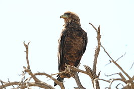 Brown Snake Eagle 5.jpg