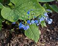 Brunnera macrophylla - Floraison-2.jpg