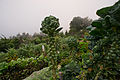 Brussel Sprouts (6498386487).jpg