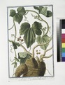 Bryonia aspera, sive alba, baccis rubris - Vittis alba, sive Bryonia - Vite bianca - Coleuvrée, ou Vigne blanche (NYPL b14444147-1124986).tiff