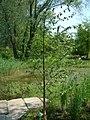 Brzoza omszona Betula pubescens.jpg