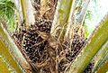 Buah kelapa sawit (15).JPG