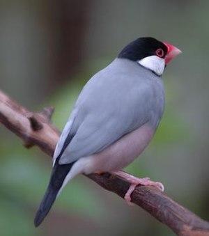 Java sparrow - Image: Buberel Lonchura oryzivora 3