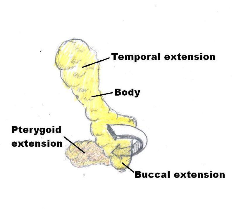 Buccal Fat Diagram.jpg