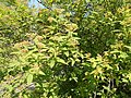 Buda Arboreta. Upper garden. Spiraea (Spiraea cantoniensis). - Budapest District XI.JPG