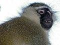 Budgett's Tantalus Monkey (Chlorocebus tantalus budgetti) male (17974584598).jpg