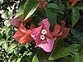 Buganvilia rosa.jpg