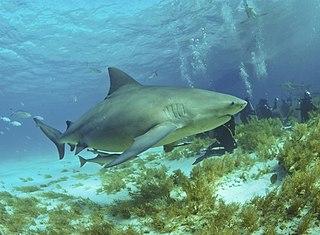Bull shark Species of fish