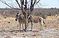 Burchell's zebra near Halali, Etosha National Park.jpg