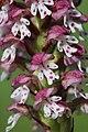 Burnt-tip Orchid - Neotinea ustulata - panoramio (60).jpg
