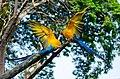 Burung Nuri Biru Kuning.jpg