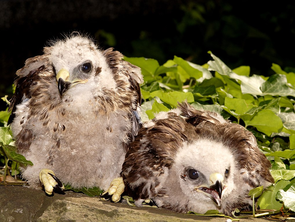 Veľké vtáky a drobné mláďatá