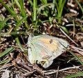 Butterfly (11000 ft) I IMG 6944.jpg